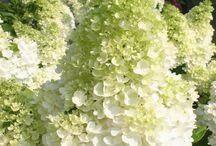 Bloemen Hortensia