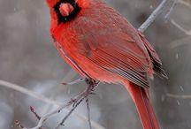 cardinal crazyness