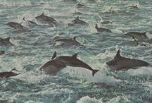 Delphic / Dolphin  Delfin Delphin  Dauphin