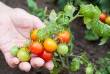 cultivo tomate cherry