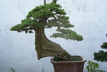 Bonsai / by Jerry Turnbull