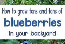 blåbær!