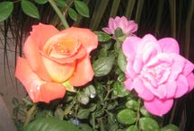 YLN / ROSE FLOWERS FROM MY ROOF GARDEN