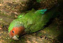 10 Penyakit Lovebird Lengkap dengan Ciri-Ciri dan Penyembuhannya