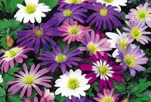 Anenome Bulbs / Anemones naturalize easily in good garden soil, spreading their early-spring cheer.