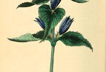 Flora rysunek