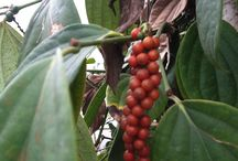 Edible Plants at Logee's / Any fruiting plant that can be grown in a pot including spices, coffee, chocolate and tropical fruits.