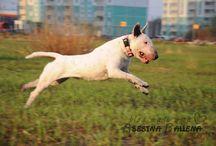 Bullterrier Daenerys Dastin Heart / About my little Mouse, my white bull terrier Daenerys Dastin Heart.
