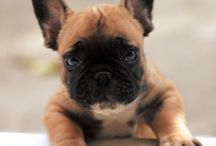 French bulldogs / French Bulldog...cutest living creatures ever! Visit our website: http://www.frenchbulldogbreed.net/puppy-for-sale.html