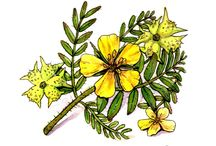 Tribulus Terrestris / One of the active ingredients of Prolargent Size is Tribulus Terrestris. This herb is claimed to do much for your health and sex life.