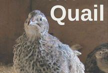gardening quails