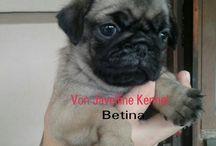 Jual anak anjing Pug Betina 2015