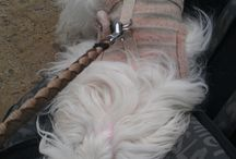 Zenike_walking_vs_dog_treats:) / My Maltese puppy, Zenike