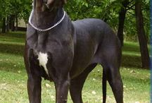 Great Dane, Boston Terrier and Basenji Love <3
