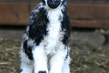 GOATS, SHEEP and I LOVE LAMBS / LAMB was my moms maiden name,  I love lambs and always will / by Lisa Hight