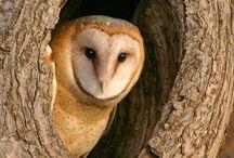 Birds of Prey (Photography and illustration) / Owls, Hawks, Kestrels etc