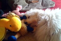 My dog / My beautiful little fur baby, Milly the moodle (maltese x poodle)...