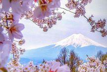 Cerezos en flor / Japón