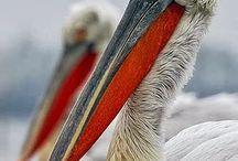 Pelicanos Garças Tuiuiús