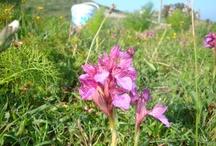 Anatolian Orchis