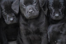 Puppycam 3 - Labradors / by Dogsclub .TV
