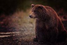 ANIMAL • Bear