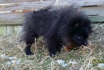 Liliput Poms / pomeranian cute dogs