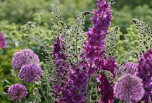 Perennial Plants / Perennial plants are one of the necessary planting groups for a mixed border but can equally provide a stunning planted area by themselves.