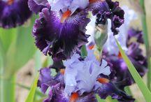 beauty Iris