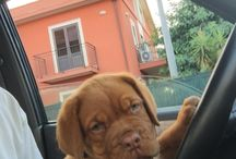 Coco' / Dogue de bordeaux