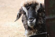 So Sheepish / Sheep because sheep are sheep and sheep rock!