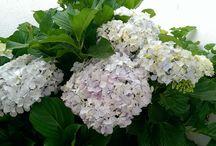 Hortências (Hydrangea) / Plantas