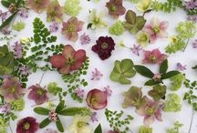 Hellebores / Flowers to brighten these chilly, darkened days. An invaluable asset to the winter garden, coming in a myriad of colours and flower forms; the winter rose. A reliable, evergreen perennial.