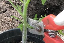 Grow - tomatoes