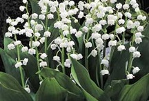 Lily of the Valley / by Linda Hutchinson