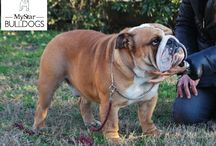 bulldog inglese Red Winner / cani bulldog inglese