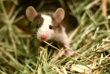 Wee Mousies & Other Rodents / I love rodents, especially the baby ones.  Rabbits are no longer considered rodents, but they used to be, and I'm including them here. / by Bonnie Hochhalter