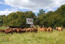 Vida de Gado / Apaixonado por gado bovino, aqui algumas das minhas fotos ao longo dos anos.