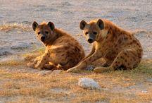 ANIMAL • Hyena