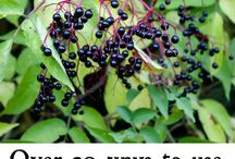 Elderberries / Elderberries are a great antiviral medicine. They are ripe from the middle of summer so get picking!!