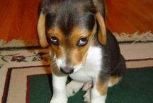 Beagle / Cute pics gifts for beagle lovers everywhere. Get Beagle personal checks at www.doggiechecks.com