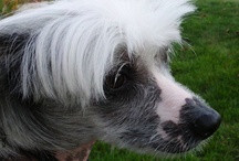 Lucy / my Chinese Crested Lucy aka Lucyfer