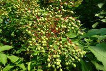 Listnáče / Nejznámější listnaté stromy