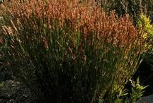 Grasses & Sedges