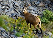 Swiss Wildlife