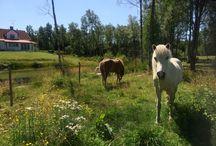 My icelandic horses