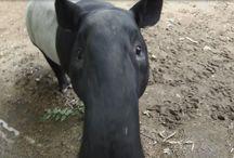 Tapirtje Penang (geboren op 4 augustus 2016) / Hoera! In de nacht van 4 augustus 2016 is rond half 2 een Maleise tapir geboren. Het is een jongetje en de verzorgers hebben hem de naam Penang gegeven. Het is inmiddels al weer 18 jaar geleden dat er in Blijdorp voor het laatst een tapir werd geboren.