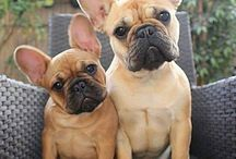 Francia bulldog ❤❤ / French bulldog ❤❤