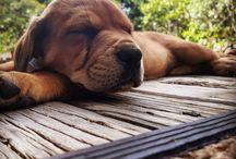 Butters the Mastweiler / Female♀️ Neapolitan Mastiff (mum) X Rottweiler (dad). Born 20-Nov-17 in Auckland, NZ.