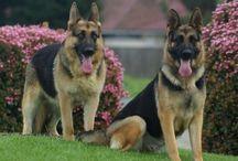 Dog Breeds: German Shepherd